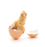 Galinha e um escudo de ovo Fotografia de Stock Royalty Free
