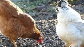 A galinha está enfileirando na terra e está procurando o alimento A galinha anda na jarda do ` s do pátio filme