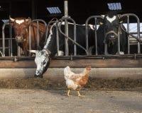 A galinha está o celeiro exterior completamente das vacas na exploração agrícola holandesa no ne Imagem de Stock Royalty Free