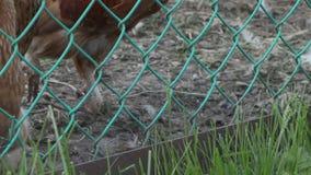 A galinha está picando a grama através de uma cerca da malha video estoque