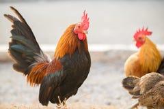 A galinha estava encontrando para o alimento fora da galinha-casa imagens de stock