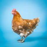 Galinha (galinha) Imagem de Stock Royalty Free