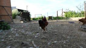 Galinha na capoeira de galinha no vídeo de movimento lento da tarde vídeos de arquivo