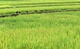 Galinha no campo do arroz Fotografia de Stock Royalty Free