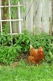 Galinha no jardim Fotos de Stock