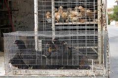 Galinha para a venda na gaiola no carro Abuso animal Mercado rural foto de stock