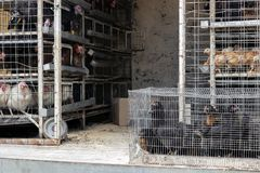 Galinha para a venda na gaiola no carro Abuso animal Mercado rural fotografia de stock