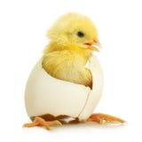 Galinha pequena bonito que sai de um ovo branco imagens de stock