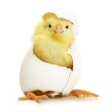 Galinha pequena bonito que sai de um ovo branco imagens de stock royalty free