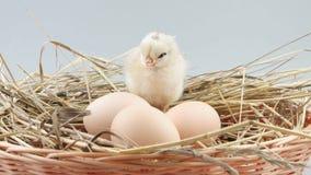 A galinha pequena senta-se no ninho perto de três ovos video estoque