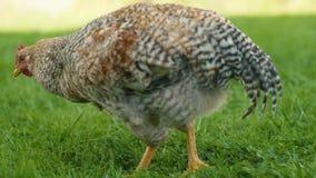 Galinha que arranca a grama com outras galinhas no passeio do fundo filme