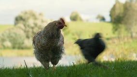 Galinha que arrancam a grama e outras galinhas que correm completamente video estoque