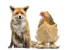 Galinha que senta-se ao lado de uma raposa vermelha, vulpes do Vulpes, olhando a Imagens de Stock Royalty Free