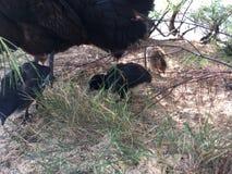 Galinha selvagem com as galinhas do bebê sob a árvore do Casuarina na praia em Kapaa na ilha de Kauai em Havaí Imagens de Stock