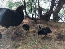 Galinha selvagem com as galinhas do bebê sob a árvore do Casuarina na praia em Kapaa na ilha de Kauai em Havaí Fotos de Stock