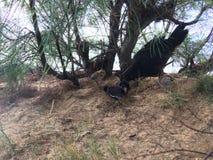 Galinha selvagem com as galinhas do bebê sob a árvore do Casuarina na praia em Kapaa na ilha de Kauai em Havaí Imagem de Stock