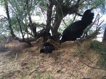 Galinha selvagem com as galinhas do bebê sob a árvore do Casuarina na praia em Kapaa na ilha de Kauai em Havaí Imagens de Stock Royalty Free