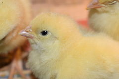 Galinha uns dias de idade, animais pequenos bonitos Foto de Stock Royalty Free