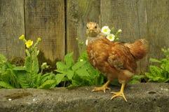 Galinha vermelha da galinha fora da posição na cerca foto de stock