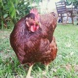 galinha vermelha deagrupamento Fotografia de Stock