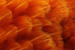 A galinha vermelha empluma-se o macro Fotos de Stock Royalty Free