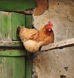 A galinha vermelha está sentando-se próximo fotos de stock