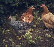 galinhas imagens de stock royalty free