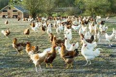 galinhas fotografia de stock
