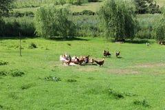 galinhas Foto de Stock Royalty Free