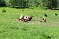 galinhas Fotos de Stock Royalty Free