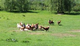 galinhas Fotos de Stock