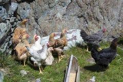 galinhas Foto de Stock