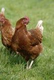 galinhas Fotografia de Stock Royalty Free