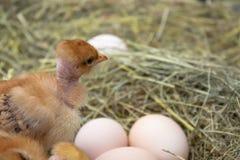 Galinhas amarelas recém-nascidas no ninho do feno ao longo do todo Close up de galinhas amarelas no ninho imagem de stock royalty free