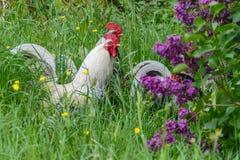 3 galinhas brancas na grama verde alta e em lilás roxos Fotografia de Stock Royalty Free
