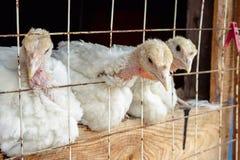 Galinhas brancas pequenas do peru Foto de Stock Royalty Free