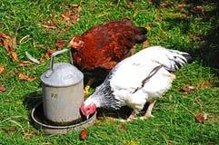 Galinhas claras da galinha anã de Sussex Foto de Stock Royalty Free