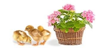 Galinhas cor-de-rosa da flor e do bebê Imagem de Stock Royalty Free