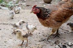 Galinhas da mãe do modo de vida e pintainho pequeno do bebê Fotografia de Stock