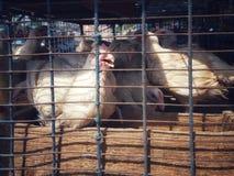 Galinhas de grelha brancas em uma gaiola para a venda na loja de carne do carniceiro fotos de stock