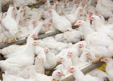 Galinhas de grelha brancas na exploração avícola foto de stock royalty free