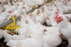 Galinhas de grelha brancas na exploração avícola fotos de stock
