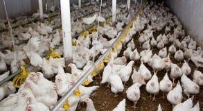 Galinhas de grelha brancas na exploração avícola imagem de stock