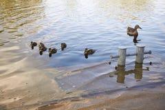 Galinhas do pato com o pato na água Fotos de Stock