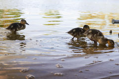 Galinhas do pato com o pato na água Imagens de Stock Royalty Free