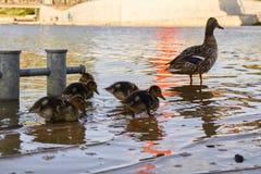 Galinhas do pato com o pato na água Foto de Stock