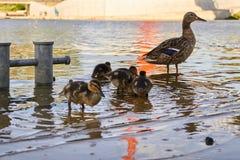 Galinhas do pato com o pato na água Imagem de Stock Royalty Free