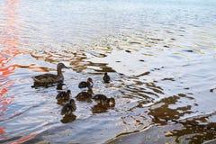 Galinhas do pato com o pato na água Foto de Stock Royalty Free