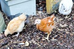Galinhas do quintal Imagem de Stock