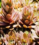 Galinhas e close-up dos pintainhos Imagem de Stock Royalty Free